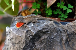 A brown anole trying to attract a date with his beautiful red dewlap.