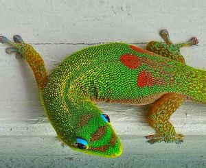 Hawaiian gecko