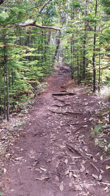 broad trail with roots spreading back and forth