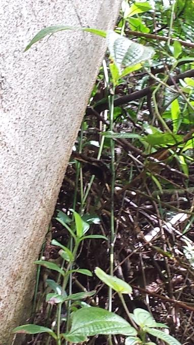 Black Witch Moth 'hiding' alongside an Albizia tree.