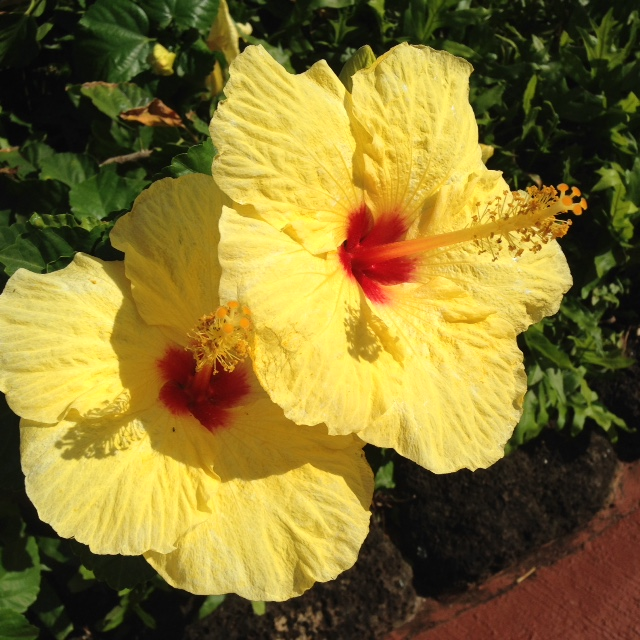 Yellow, Hawaii's state flower