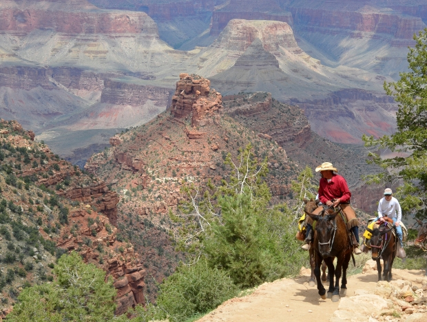 Guide leading mule riders up a steep portion of the Bright Angel Trail known as Heartbreak Hill. The Battleship formation is in the background, and Cheops Pyramid beyond that. (on the other side of the Colorado River) NPS photo by Michael Quinn. Mule trips into the canyon - as well as rides through the park's woodlands to scenic canyon overlooks - are offered on both the the North and South Rims of the park. Learn more here: http://www.nps.gov/grca/planyourvisit/mule_trips.htm
