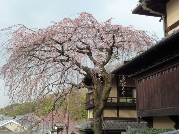 Sakura starting to bloom on Ninenzaka