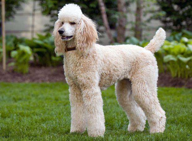 bigstock-Standard-Poodle-7733433-Bigstock-Danielkz