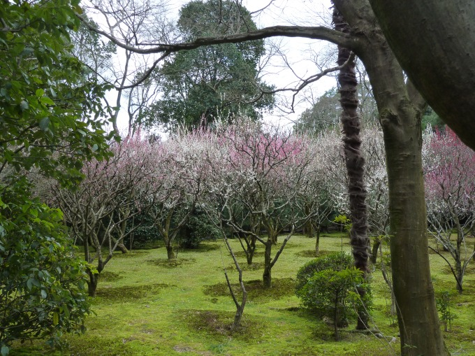 Plum trees in bloom at Ryoanji