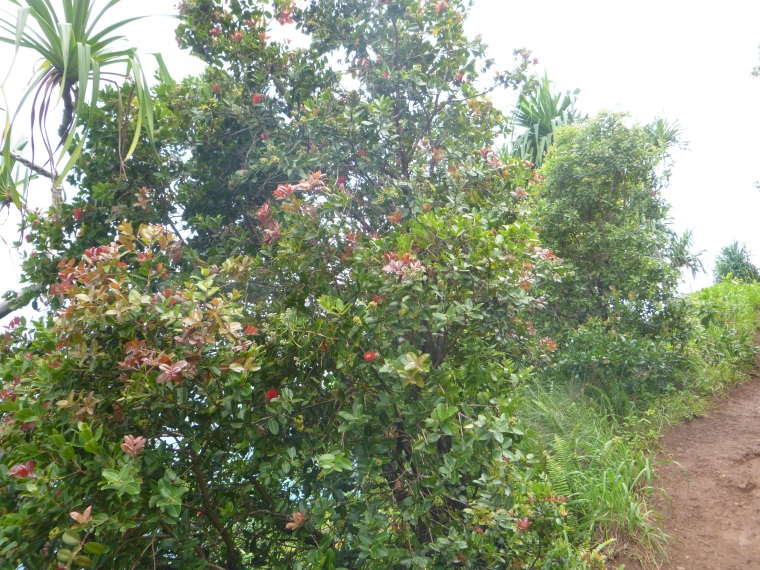 Ohi'a ~ Mountain Apple blooming