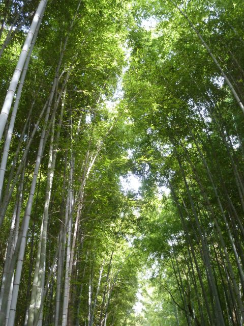 The bamboo towers overhead, swaying in the wind.