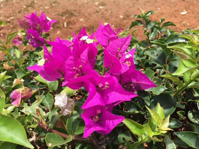 Vibrant bouganville in sunny Poipu