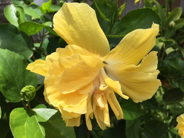 Frilly yellow hibiscus