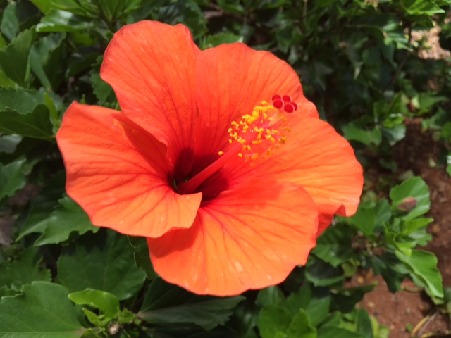 Bright orange-red hibiscus