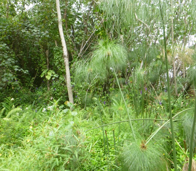 papyrus (Cyperus papyrus), white ginger (Hedychium coronarium), blue ginger (Dichorisandra thyrsiflora)