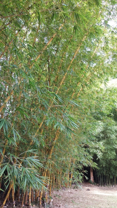 lighter variety of bamboo