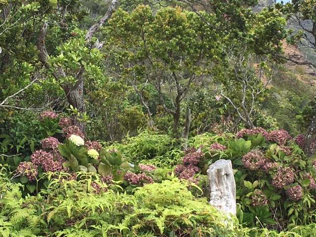 We did not think hydrangeas grew on Kaua'i, but spotted them several times as we approached the Kalalau Viewpoint.