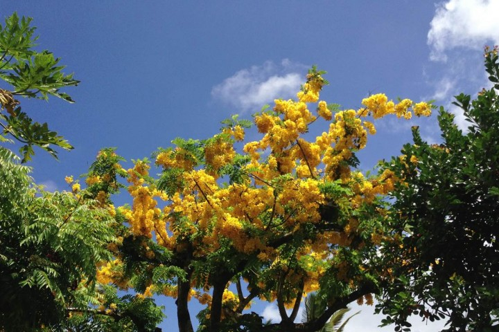 A Rainbow Shower tree: Hawaii's attempt at fall color