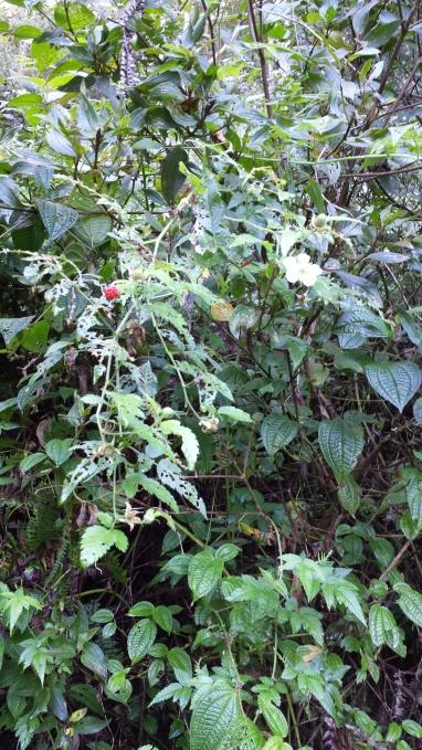 Rubus Rosaefolia