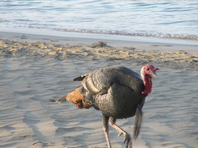 Not as strange as you might think - there are loads of wild turkeys on the Big Island!