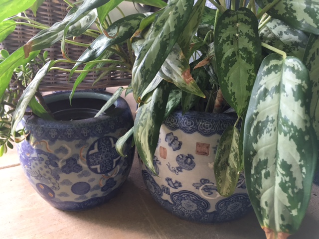 Three of our porcelain hibachis sit out on the lanai and hold plants.