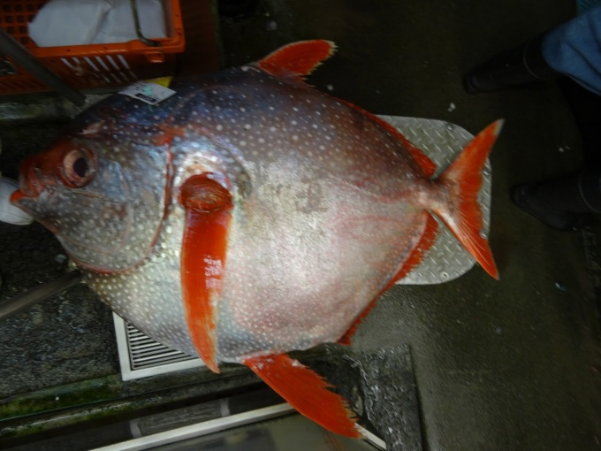 Locally-caught monchong, a deep-sea pomfret has been appearing at Costco. It's got a delicious, moderately fishy flavor.