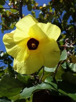 Hau or Beach Hibiscus (Hibiscus tiliaceus)