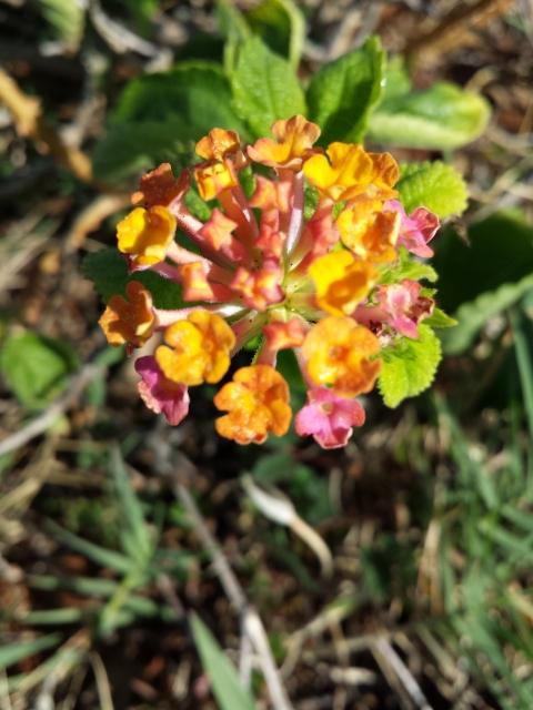 Lantana blossoms