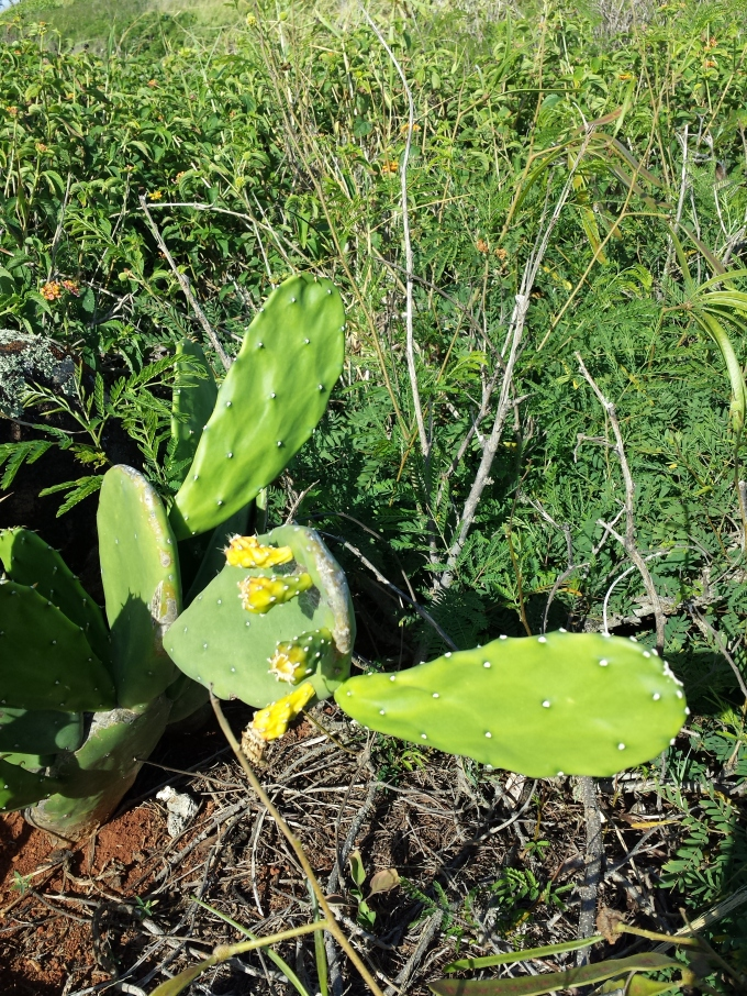 Prickly Pear or pāpipi, pānini maoli