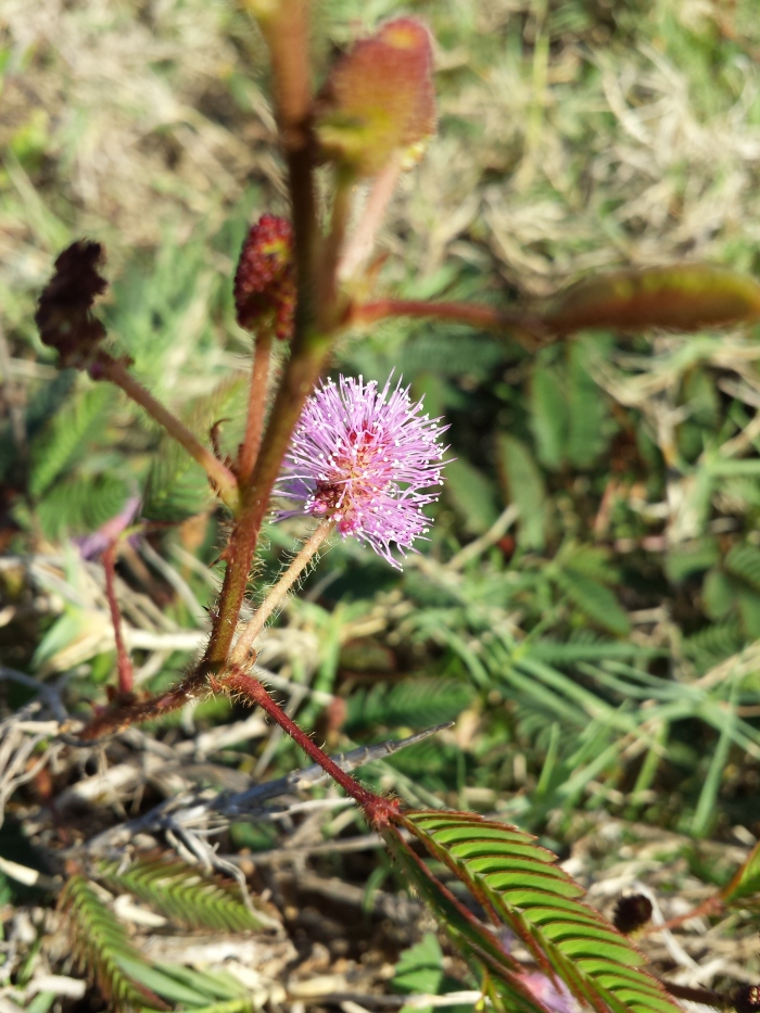 Sensitive Plant or Mimosa with pink blossom