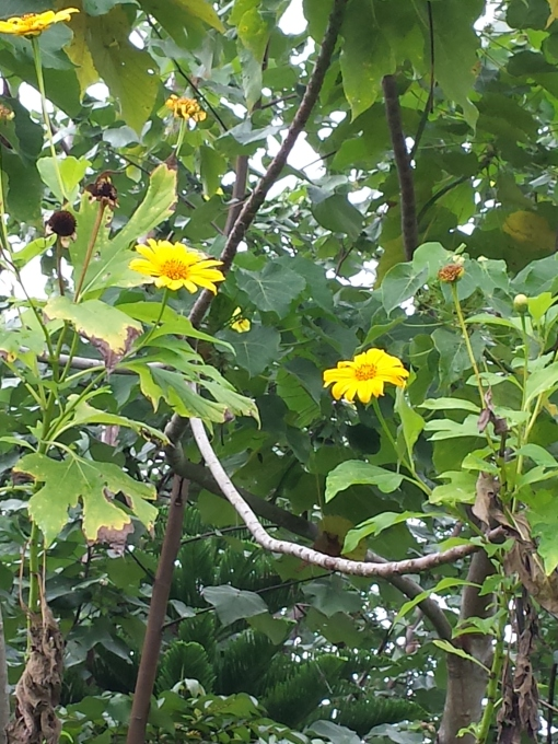 Unidentified yellow flowers, 6-8 feet tall