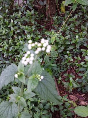 Whiteweed