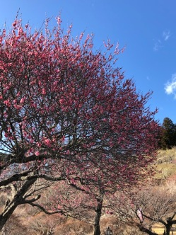 There were pink plum trees . . .