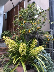 Orchids and kumquats
