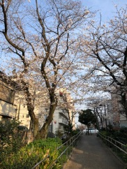 Cherry blossom viewing on our last evening in Tokyo