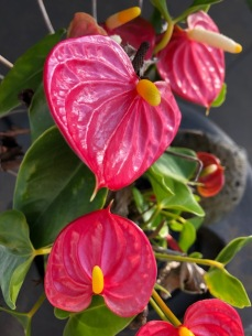 miniature anthurium