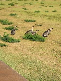 A flock of nene