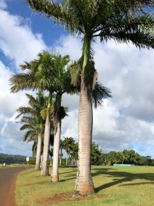 Mature bottle palms at Kukuiolono