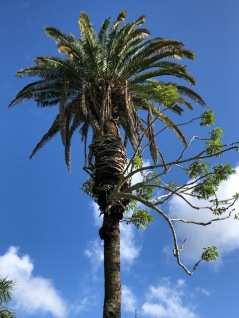 A schefflera tree embraces (chokes?) a palm
