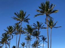 Coconut palms & blue skies