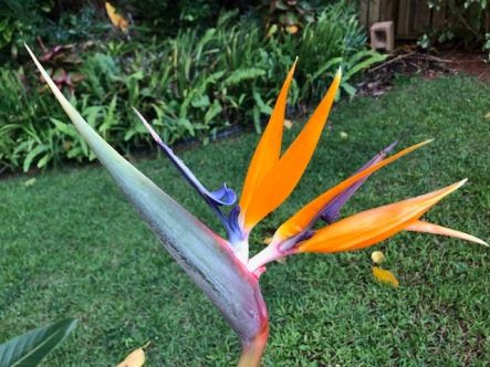 The birds of paradise just keep coming on