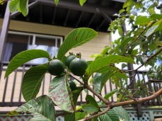 The guava tree is LOADED with fruit.