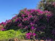 Wild Bougainville growing along the road