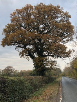 A massive oak along the road