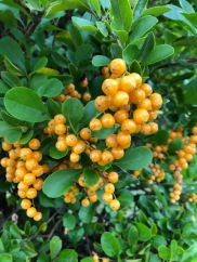 Golden berries . . .