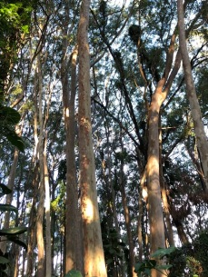 Eucalyptus grove in the woods