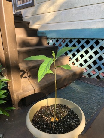 Our avocado tree continues to thrive