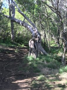 Gnarled, uninviting tree at trailhead