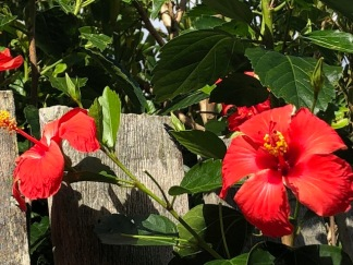 Hibiscus spilling over the fence