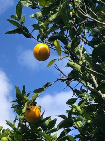 Oranges ready for picking