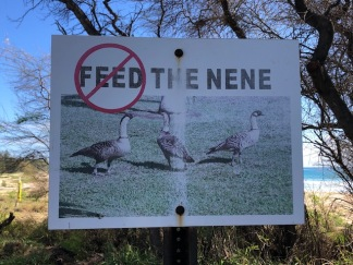 We sadly didn't see any nene on our hike.